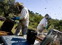 La cosecha de la miel